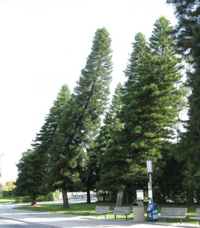 el pino que se inclina hacia el ecuador