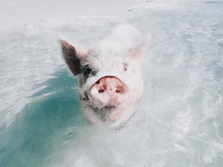 pig beach cerdo en el agua (1)