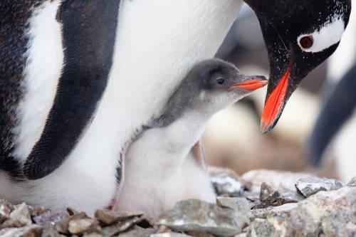 11 datos curiosos y poco conocidos sobre los pingüinos