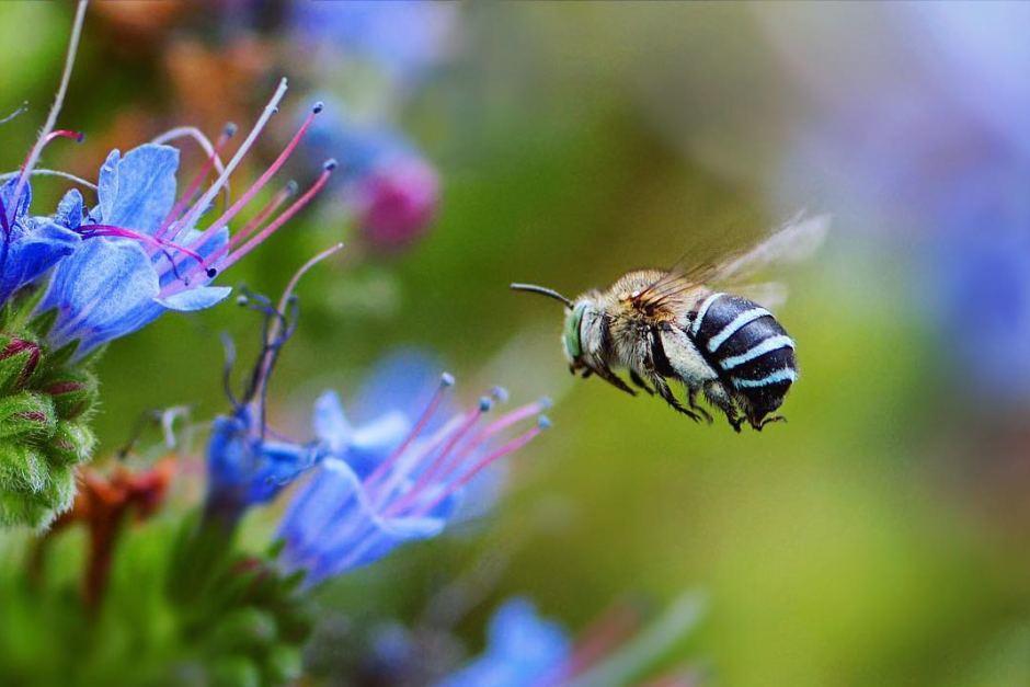 Así son las abejas azules que solo existen en Australia y sorprenden al mundo
