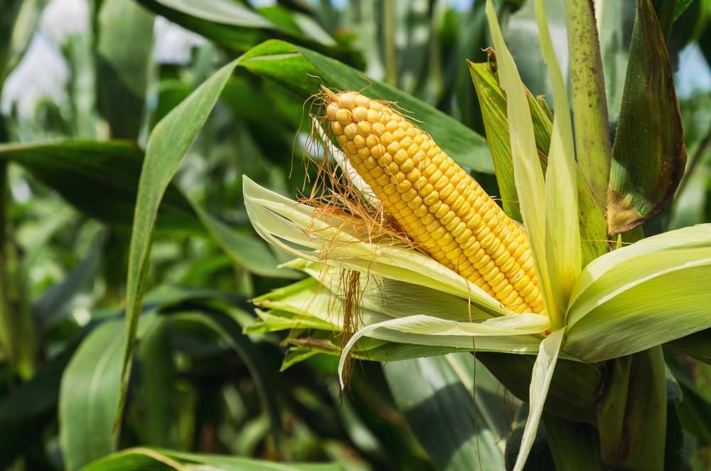 México prohíbe la importación de maíz transgénico y el uso de glifosato