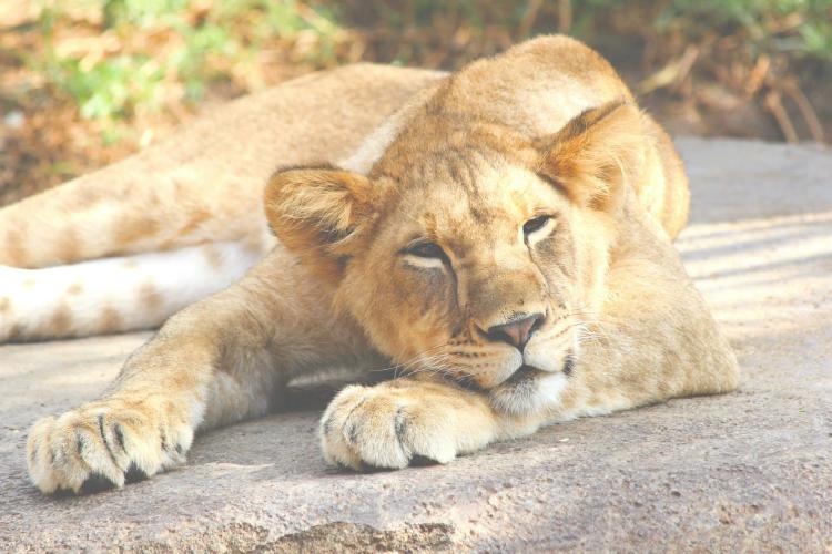 Hallan a una leona abandonada en una casa de México