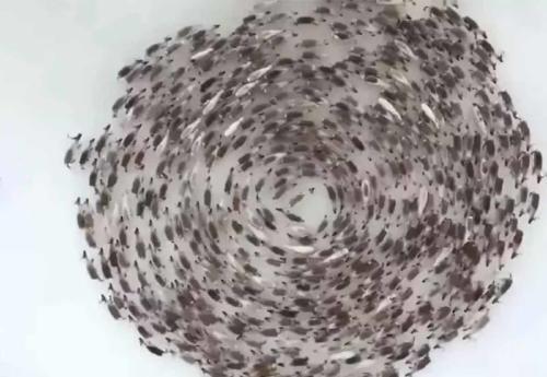 """Graban a cientos de renos moverse en """"círculos ciclónicos"""": ¿por qué lo hacen?"""