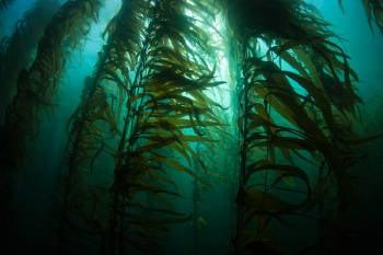 Algas kelp debajo del agua