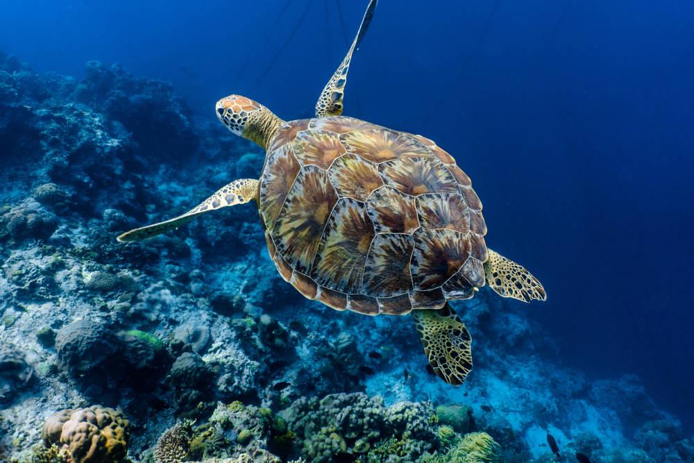 Cómo el calentamiento global afecta el futuro de las tortugas marinas