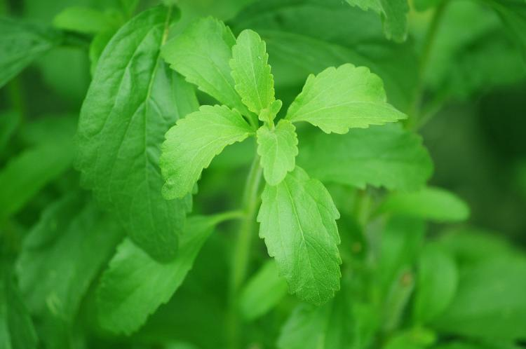 stevia que es y para que sirve