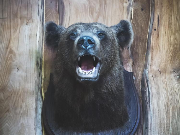 trofeo de caza oso