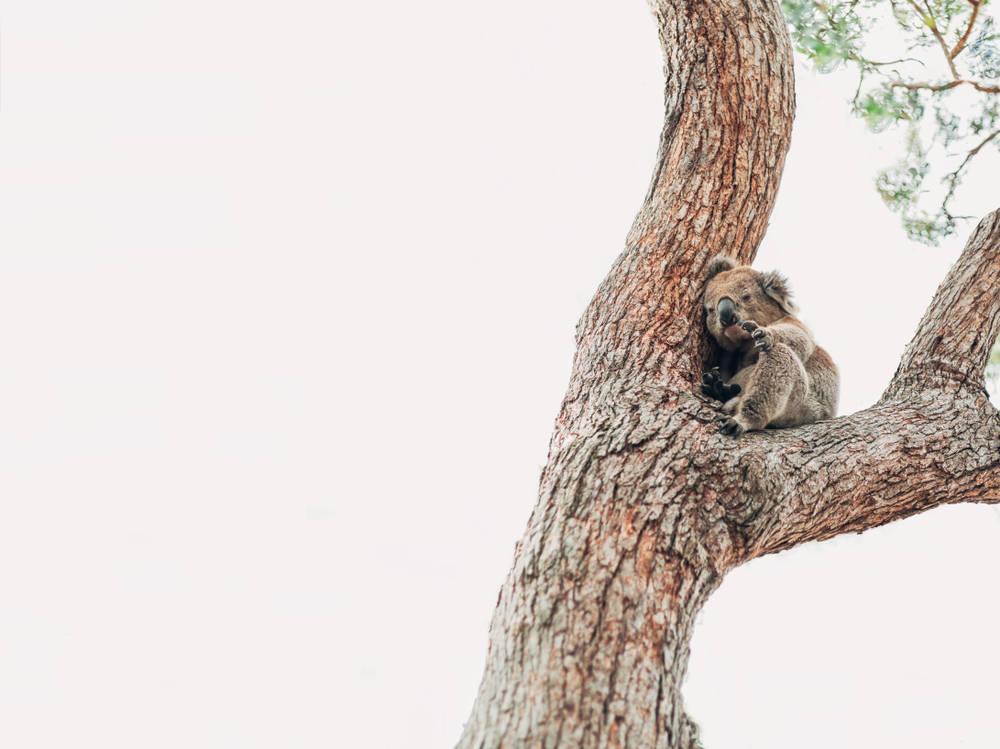 Incendios forestales en Australia: un bombero le da de beber a un koala