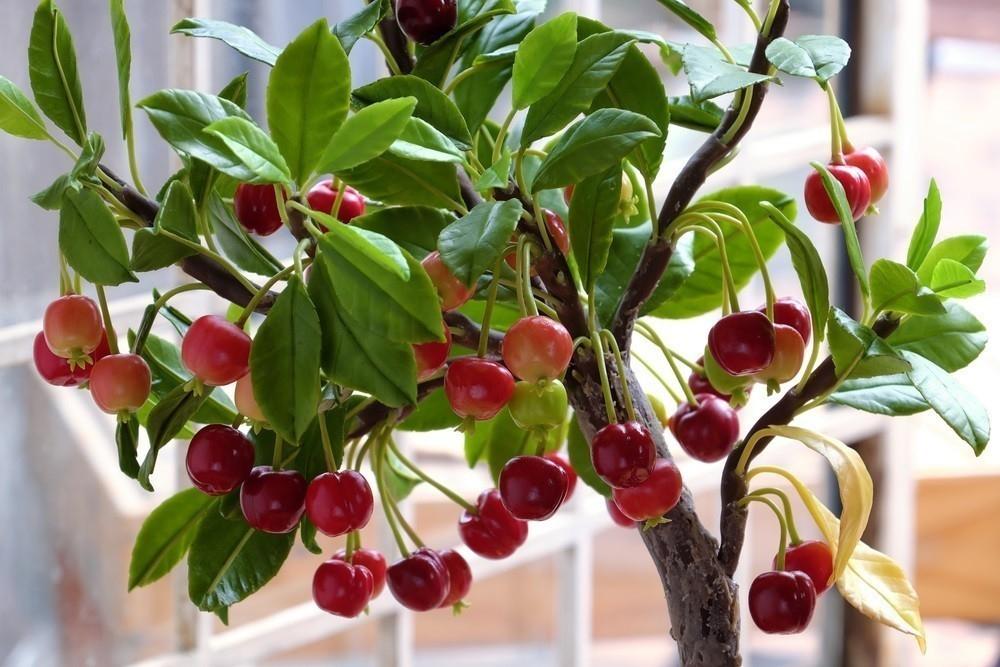 Cómo cultivar cerezas en maceta fácilmente