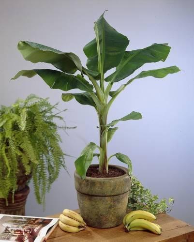 Cómo cultivar bananas en tu hogar