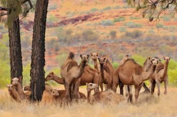 camellos australia