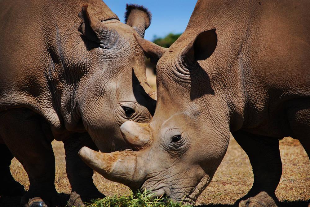 Transportarán 30 rinocerontes hasta Australia para salvarlos de la caza