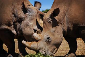 Sudáfricaproponen inyectar cuernos de rinoceronte con material radiactivo para desalentar la caza