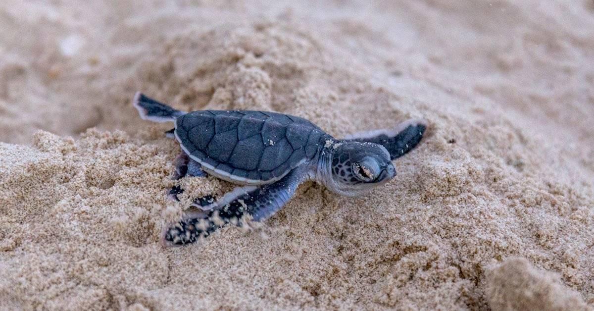 Sorpresa: nacimiento de tortugas marinas en la costa mediterránea