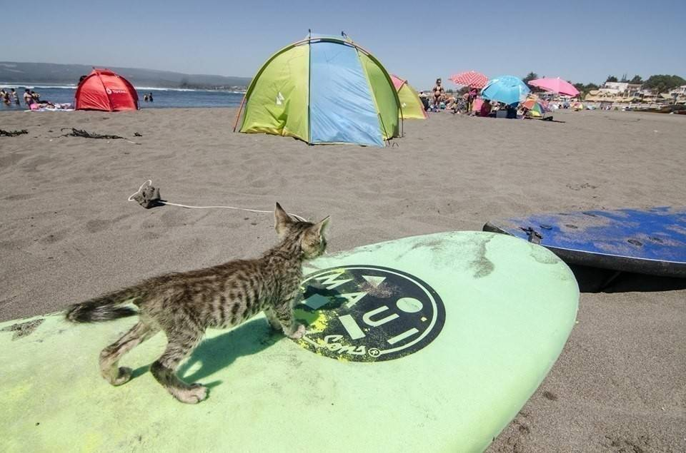 Conoce la historia del gato surfer que fue rescatado por unos viajeros que rec..