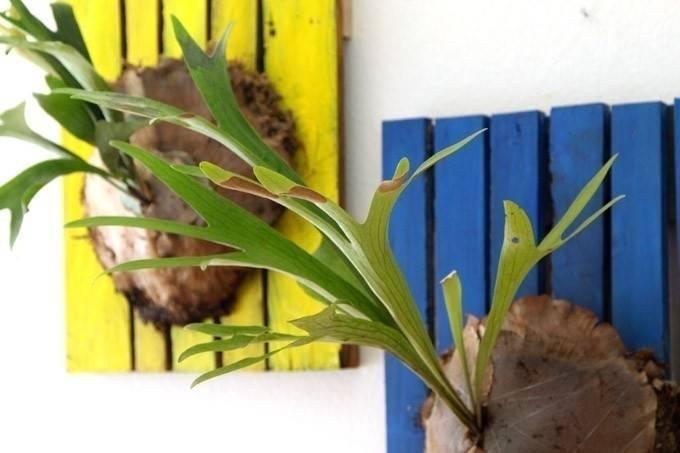 Cómo cultivar un helecho australiano y decorar con él