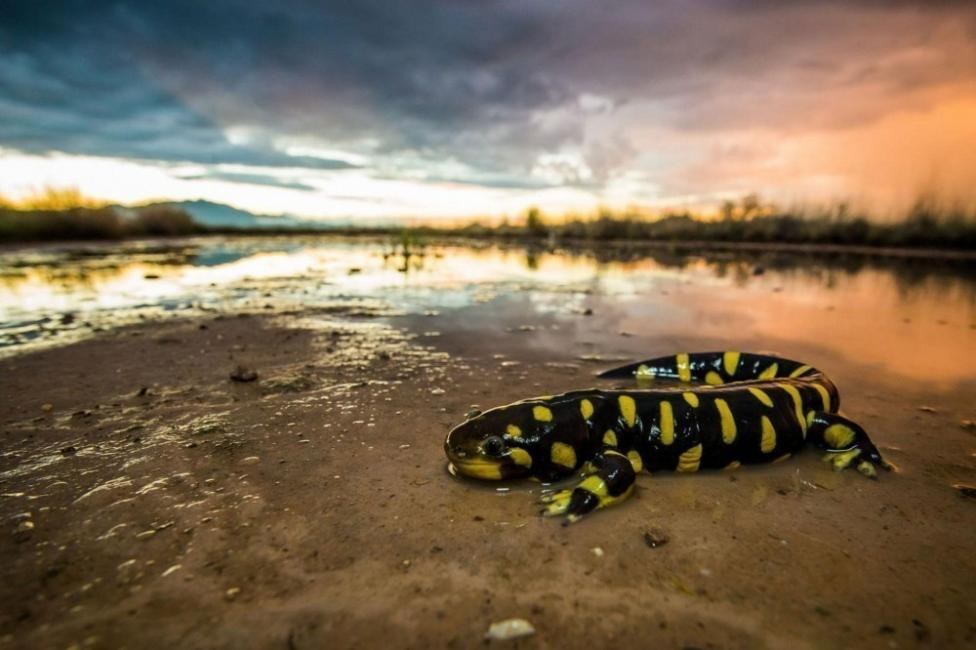 La salamandra tigre puede medir de 15 a 21 cm
