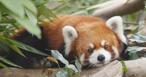 Panda rojo: está en peligro de extinción por la deforestación