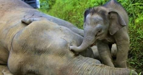 La polémica de una propuesta: la clave para salvar a los elefantes, ¡¿es ca..