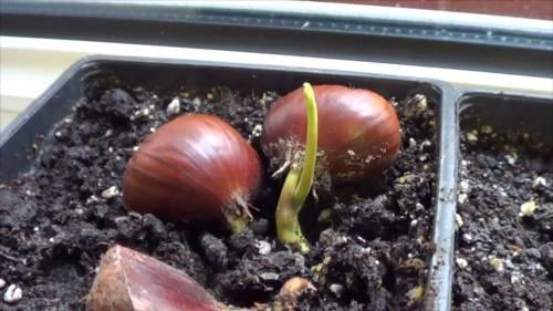 Cómo germinar castañas para plantarlas en casa