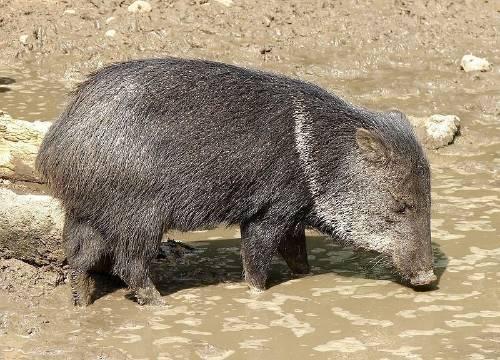 Excelente noticia: ¡Esta especie regresó a Uruguay después de 100 años ext..