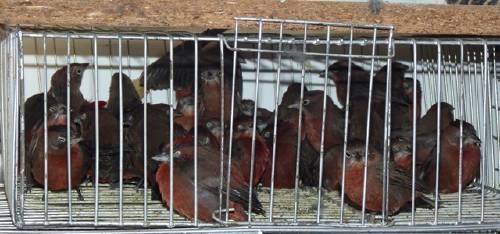 Tráfico Aves