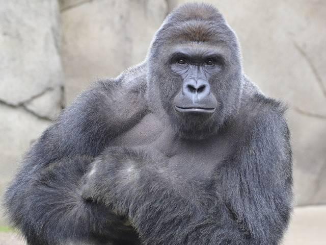 Matan a un gorila en un zoológico porque un niño se metió en su jaula