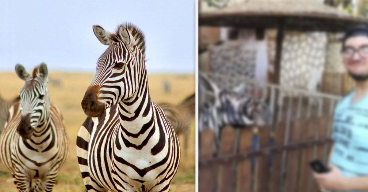 En un zoológico en Egipto descubrieron que las cebras en verdad eran falsas